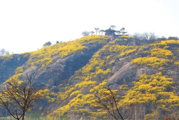 작은 매봉은 꼭대기 정자가 화룡점정이다. 봄날 개나리가 만개하면 암벽은 노랑잔치가 벌어진다.(조용연 자료사진, 서울 성동)