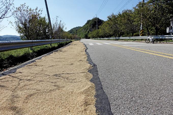 가을볕에 마르는 나락. 강촌에 새로 만든 길은 우선 곡식이 주인이다.(청양 목면)