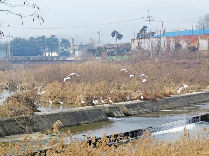 경안천은 오염의 오명을 벗었다. 왜가리 떼가 무리지어 나르는 걸 보면(용인 포곡)