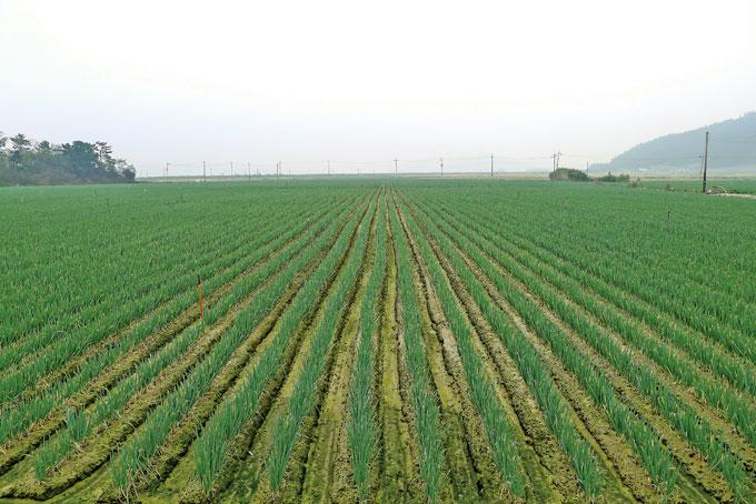 지평선을 막아선 대파밭은 국내최대 규모다