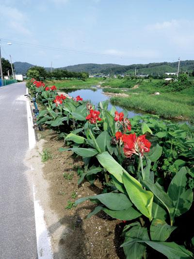 칸나 꽃이 반겨주는 강둑길(안성 보개)
