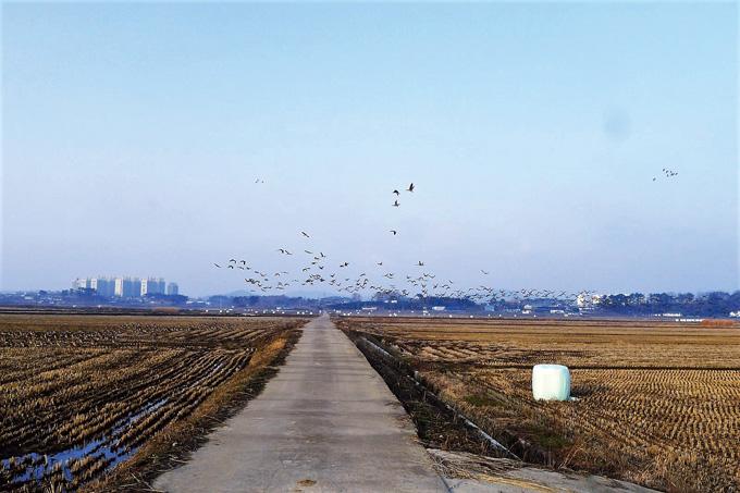 간월호 주변의 간척 농지는 철새들의 낙원이다. 조용히 지나가도 얼른 알아차리고 무리지어 비상해 한순간 하늘이 좁아 보인다.