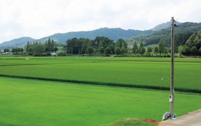 논에는 자라는 골프장 잔디는 초록빛을 진하게 띠며 시집갈 날만 기다린다.(장성 황룡)
